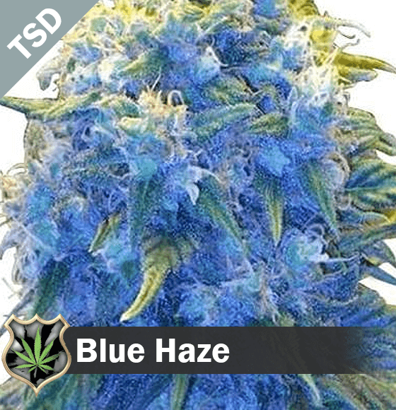 blue haze Cannabis Seeds