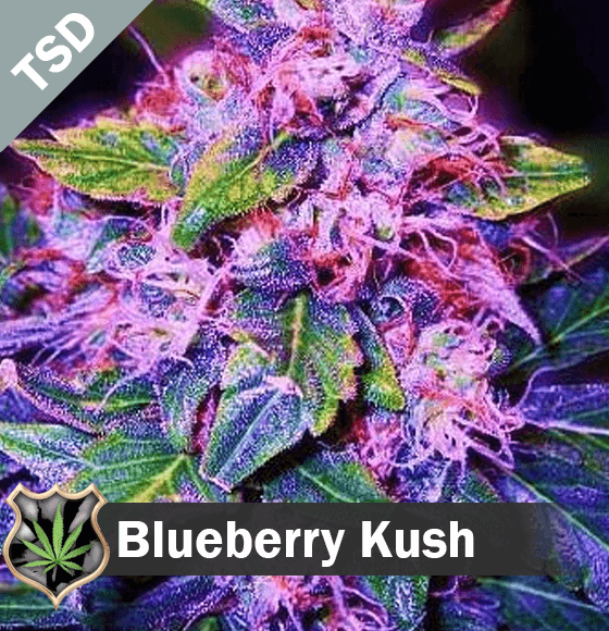 blueberry kush Cannabis Seeds