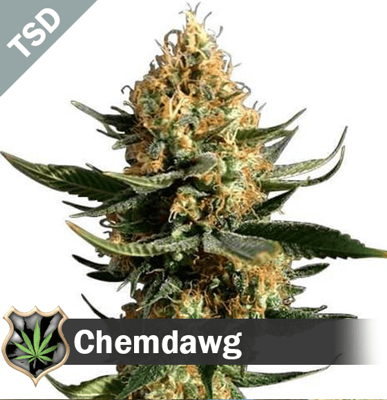chemdawg Cannabis Seeds