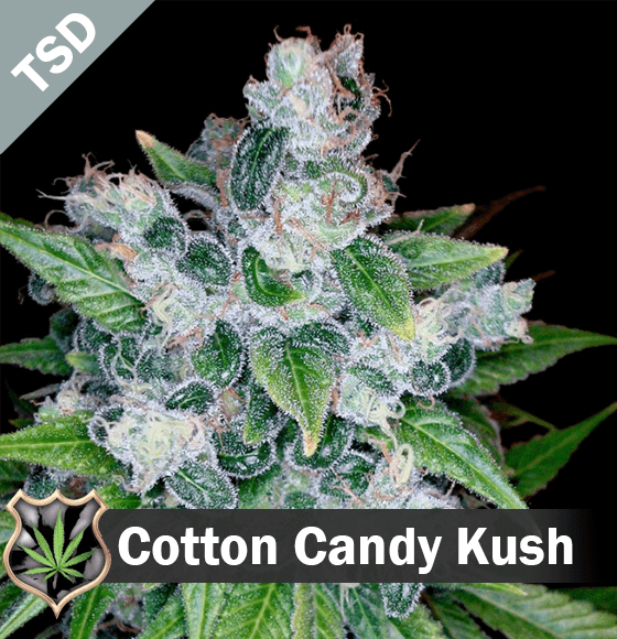 cotton candy kush Cannabis Seeds