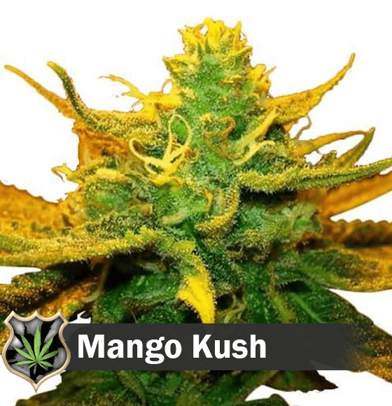 mango kush Cannabis Seeds