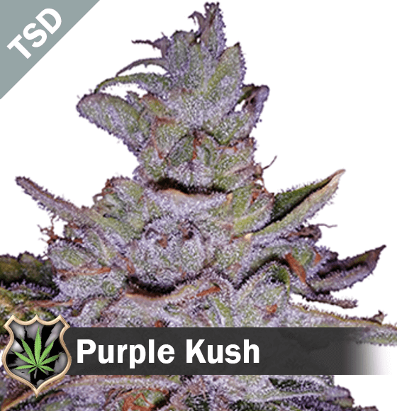 Purple Kush cannabis strain seeds