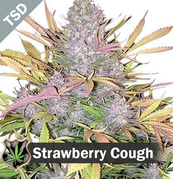 strawberry cough Cannabis Seeds
