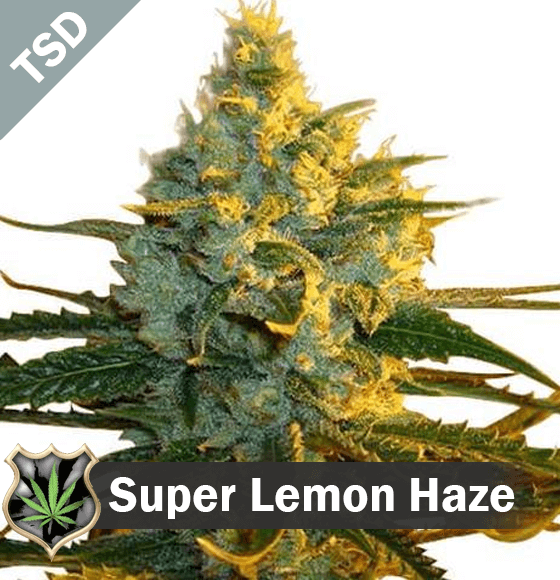 super lemon haze Cannabis Seeds