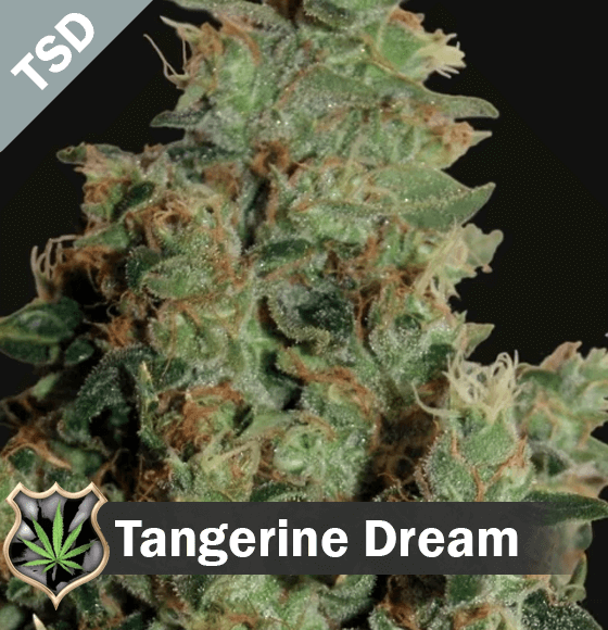 Tangerine Dream seeds