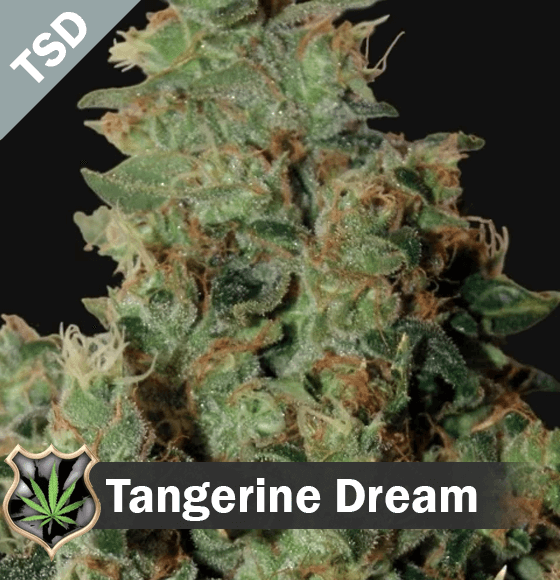 Tangerine Dream cannabis strain seeds