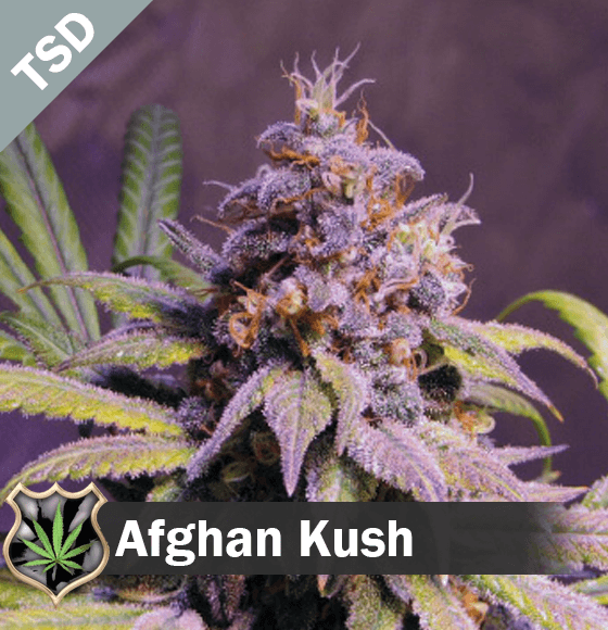 Variety Of Indica Seeds Available For Any Cannabis Growing Needs