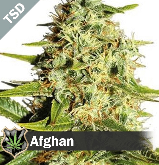 afghan Cannabis Seeds