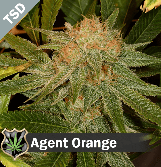 agent orange Cannabis Seeds