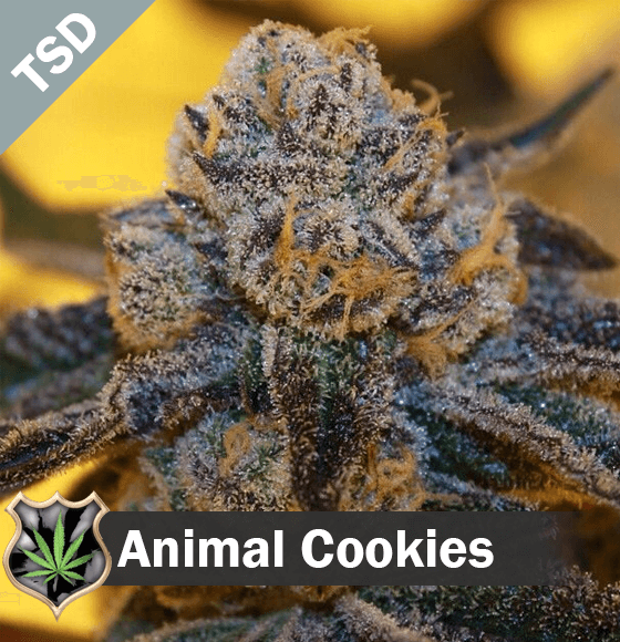 animal cookies Cannabis Seeds