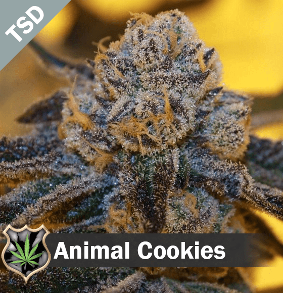 Animal Cookies cannabis strain seeds