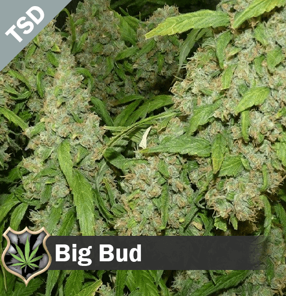 Big Bud cannabis strain seeds