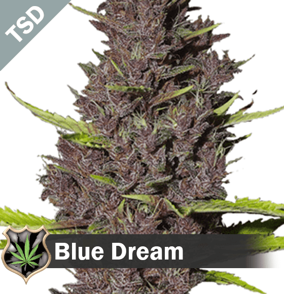 blue dream Cannabis Seeds