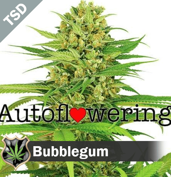 Bubble Gum cannabis strain seeds
