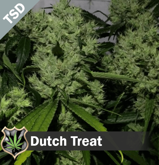 dutch treat Cannabis Seeds