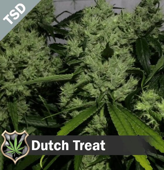 Dutch Treat cannabis strain seeds