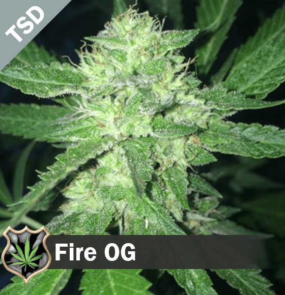 fire og Cannabis Seeds