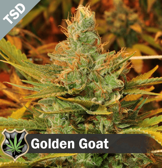 golden goat Cannabis Seeds