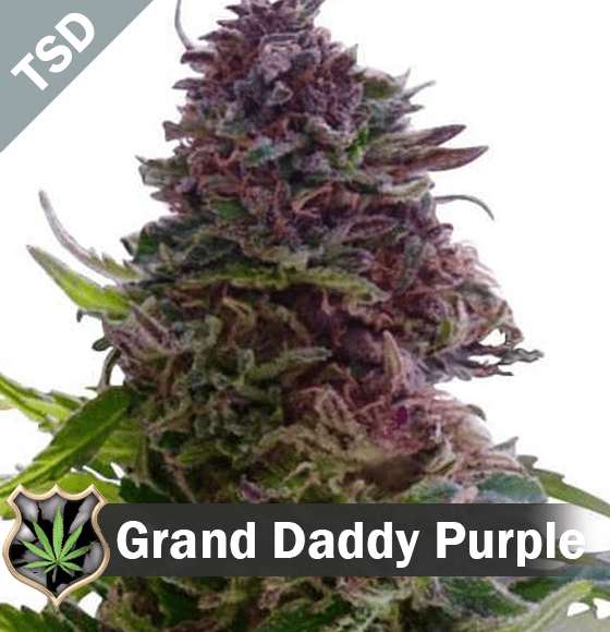 Grand Daddy Purple cannabis strain seeds