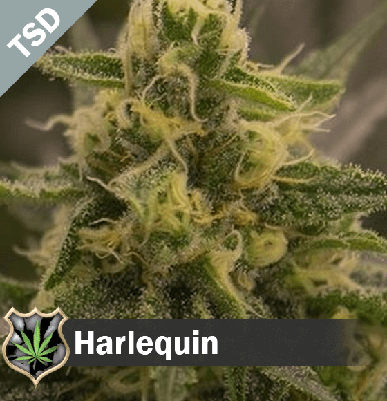 harlequin Cannabis Seeds