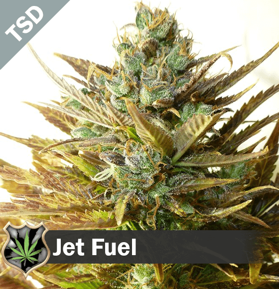 jet fuel Cannabis Seeds
