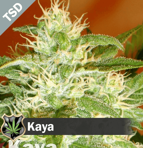 kaya Cannabis Seeds