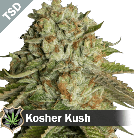 kosher kush Cannabis Seeds