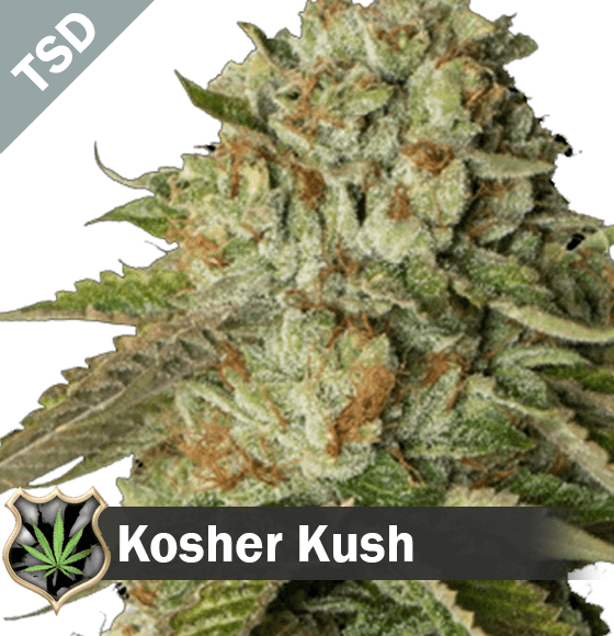 Kosher Kush cannabis strain seeds