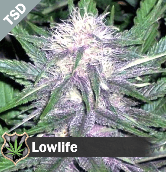 lowlife Cannabis Seeds