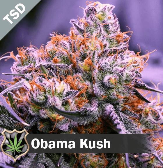 obama kush Cannabis Seeds
