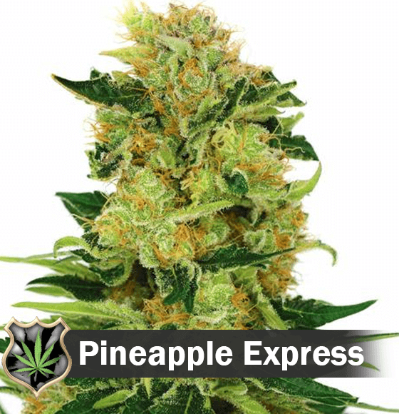 Pineapple Express cannabis strain seeds