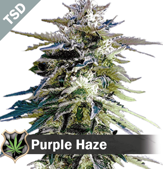 purple haze Cannabis Seeds