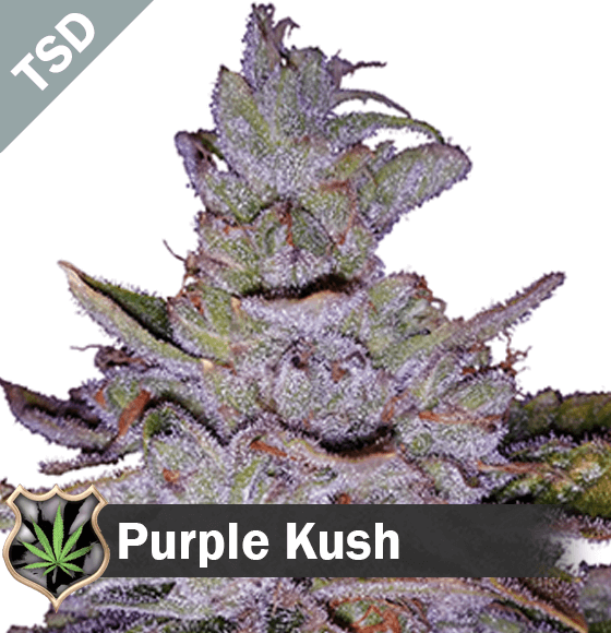 purple kush Cannabis Seeds