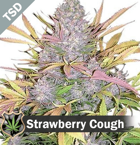 Strawberry Cough cannabis strain seeds