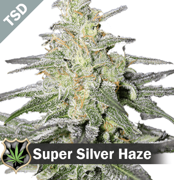 Haze Marijuana Seeds Are Available For Purchase At Our Seed Store