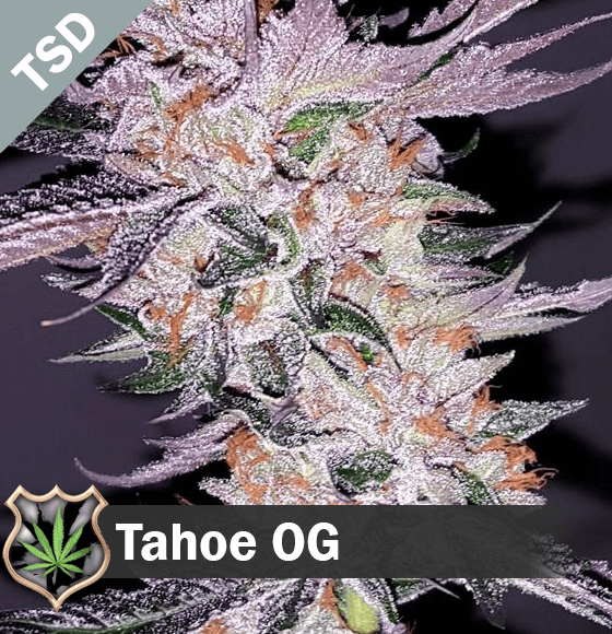 tahoe og Cannabis Seeds