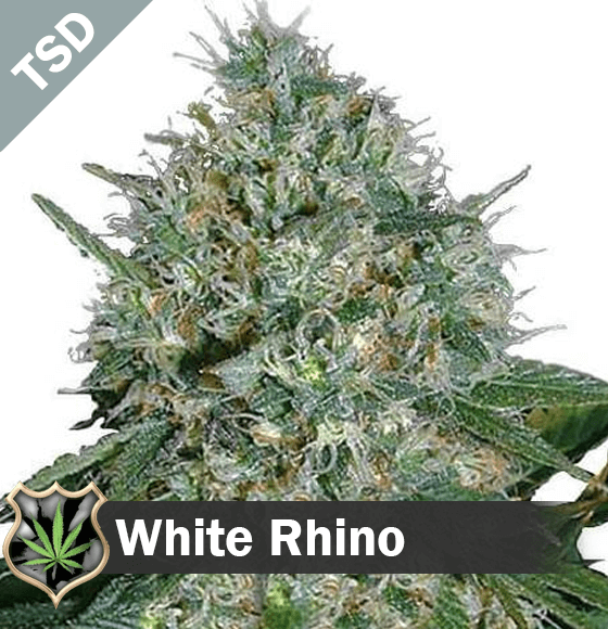white rhino Cannabis Seeds
