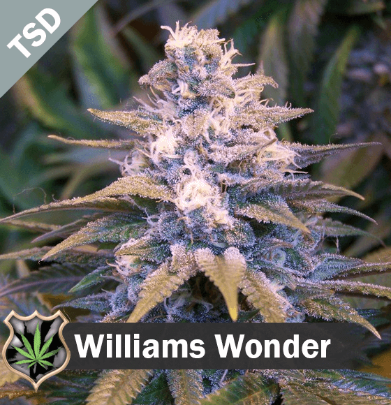 willys wonder Cannabis Seeds