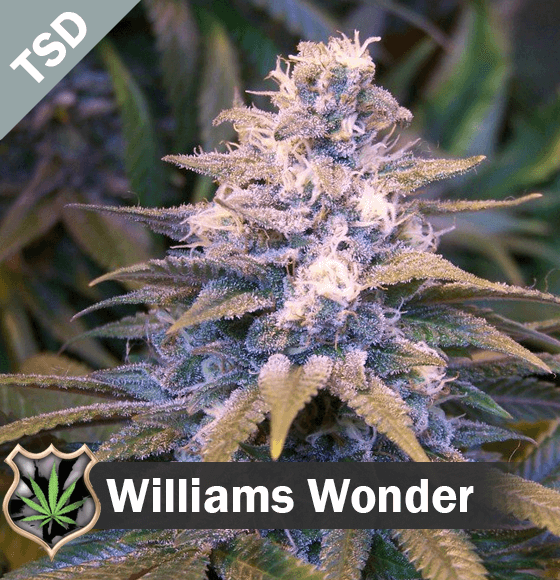 Willys Wonder cannabis strain seeds